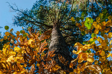 Looking Up The Trunk Of Pine Tree, The Bright Crown Of Green, Yellow And Golden Leaves. Autumn Colors, Change Of Seasons Concept.