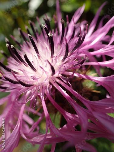 Fotografie, Obraz  spitzige lila Blüte I