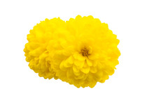 Yellow Chrysanthemum Isolated