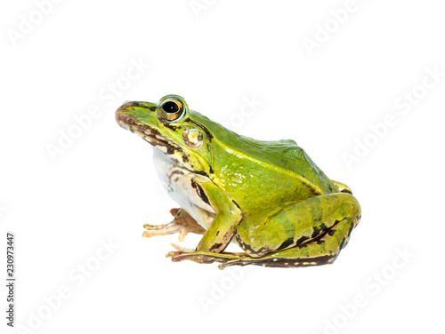 Tuinposter Kikker portrait of a green frog isolated on a white background