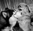 playing dogs huskies