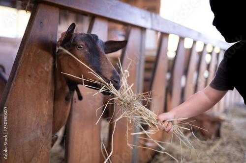 Fotografía  Braccio di bambino che porge il fieno alla capretta nel recinto