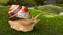 Snail Achatina Fulica Moves On...
