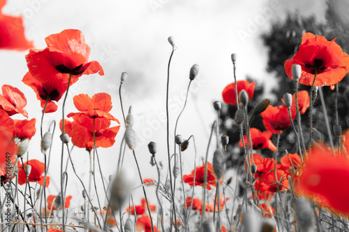 Foto auf Leinwand Mohn Poppy field as a symbol of Remembrance.
