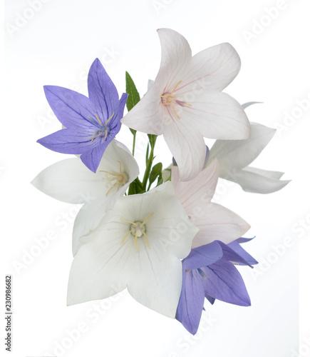 Fototapety, obrazy: platycodon flowers