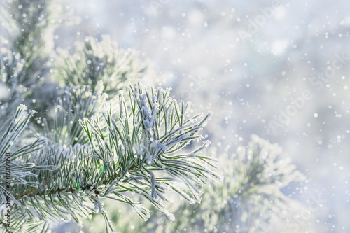 Photo Pine branches with needles covered with hoarfrost on  frosty day