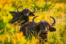 Water Buffalo (Bubalus Bubalis), Zululand