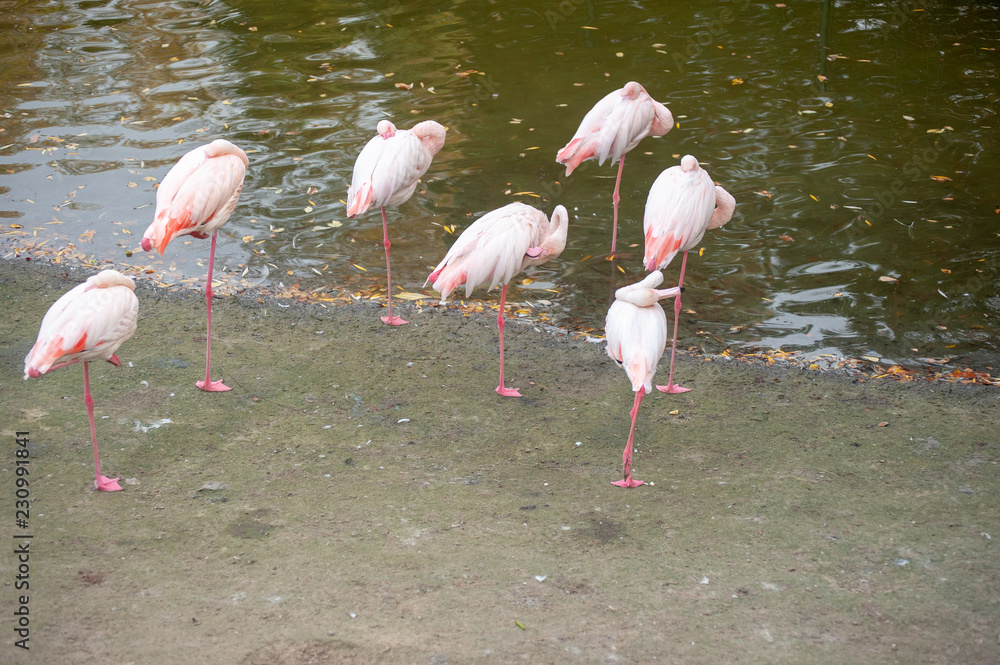 Pink flamingos stand on the shore of the lake with their heads folded