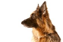 Profile View Of Mature German Shepherd Bitch ( GSD )