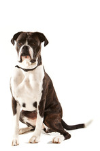 Sitting Boxer Dog, Side  Front View With Long Tail.  Isolated On White