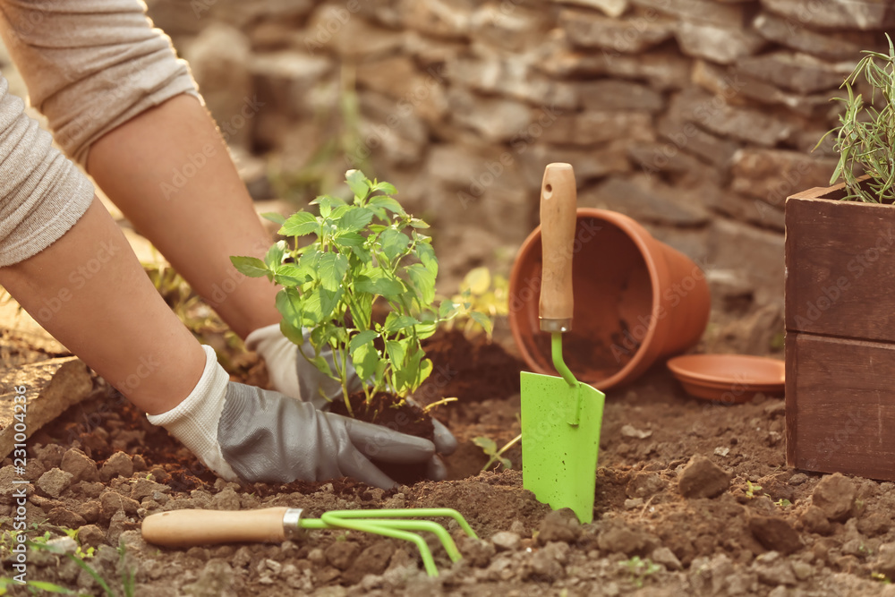 Fototapety, obrazy: Woman repotting fresh mint outdoors