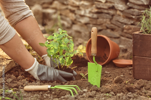Spoed Fotobehang Tuin Woman repotting fresh mint outdoors