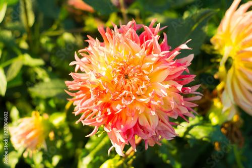 In de dag Dahlia Orange dahlia flower on the bush closeup