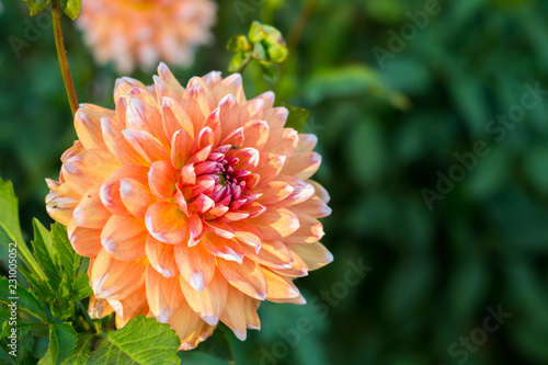 Staande foto Dahlia Orange dahlia flower on the bush closeup