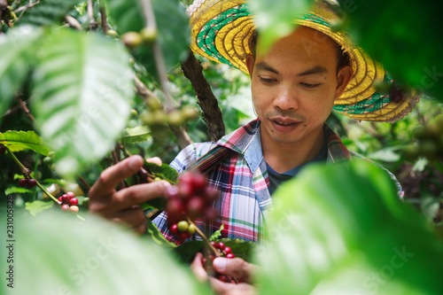 Cuadros en Lienzo Coffee berries with agriculturist in Thailand.