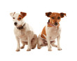 Two Jack Russell Terriers sitting side by side