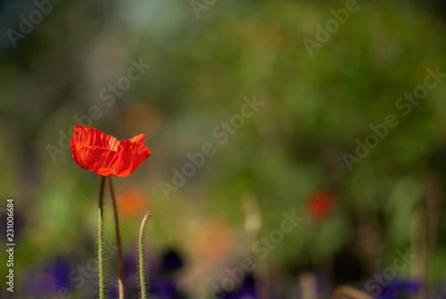 Fotobehang Poppy Red Poppy In Garden