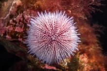 European Edible Sea Urchin (Echinus Esculentus) Sits On The Laminaria, Norwegian Sea, Northern Atlantic, Norway, Europe