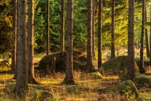 Spruce Forest With Rocks In Th...