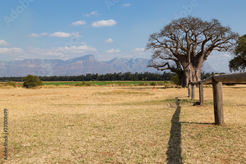 Staande foto Baobab Baobab africano nel paesaggio
