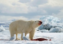 Polar Bear Feeding On Prey