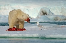 Polar Bear Feeding On Carcass
