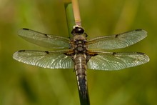 Four-spotted Chaser (Libellula Quadrimaculata) At Stalk, Aosta Valley, Italy, Europe
