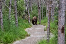 Brown Bear Walking On Forest Path