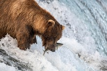 Brown Bear Catching Fish