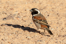 Cape Sparrow Sitting On The Gr...