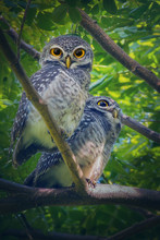 Two Spotted Owlet (Athene Bram...