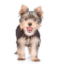 Yorkshire Terrier Puppy Standi...