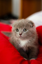 Curious Gray Scottish Fold Kitten On The Red Blanket. Close-up Portrait.