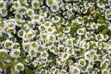 The Iberis Gibraltarica Perennial Plant For Rock Garden. Iberis Groundcover With White Flowers.