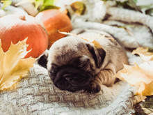 Cute, Sweet Puppy, Sleeping On A Blanket, Pumpkins And Leaves On A White Background. Pet Care Concept