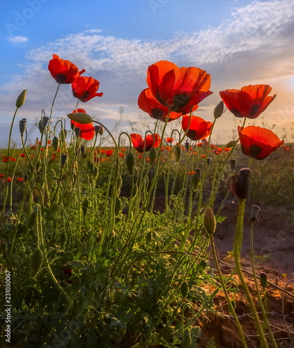 Foto op Plexiglas Poppy Poppies bloom in the steppe. Blooming steppe in the spring. Poppy flowers close up.