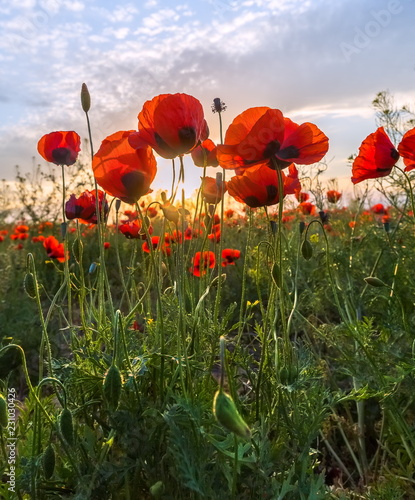 Poppies bloom in the steppe. Blooming steppe in the spring. Poppy flowers close up.