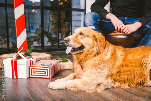 Fotografie, Obraz  adult dog a golden retriever,abrador lies next to the owner's legs of a male breeder