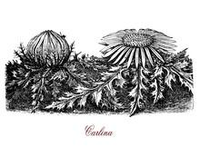 Vintage Botanical Engraving Of Carlina Acaulis, Flowering Edible Plant Of The Alpine Regions, Used For Essential Oils In Herbal Medicine