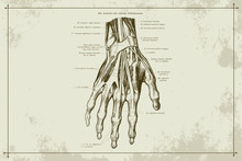 Human Hands Skeleton Vein Anatomy Gold Sepia Vector Illustration With Boarder