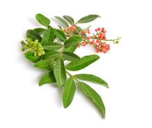 Schinus Terebinthifolia Or Brazilian Peppertree, Aroeira Or Rose Pepper, Broadleaved Pepper Tree, Wilelaiki Or Wililaiki, Christmasberry And Florida Holly Isolated.