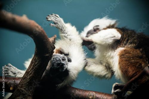 In de dag Koala Monkeys at the zoo.