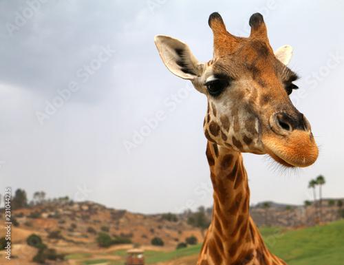 Close up of giraffe at zoo