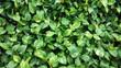 Close up of heart shape green leaf