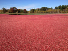 View Of Cranberries Floating O...