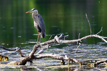 A Great Blue Heron Stands On A Dead Tree Branch Over Water