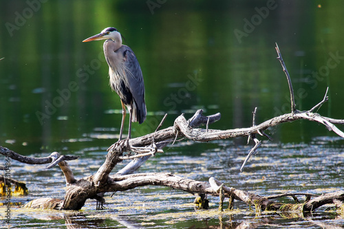 A Great Blue Heron stands on a dead tree branch over water Wallpaper Mural
