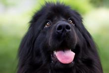 Close Up Of Newfoundland Dog