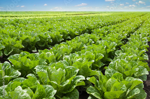 Fotomural Growing lettuce in rows in a field on a sunny day.