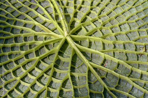 Fotografia, Obraz  Retro di una foglia gigante di ninfea, Nymphaea Victoria Amazonica